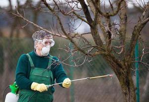 Опрыскивание деревьев персика фунгицидом