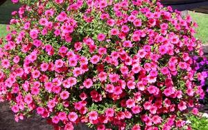 Как правильно осуществлять ампельное выращивание петунии в 58