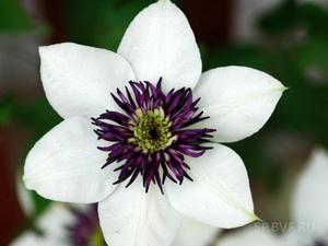 Цветок клематиса белого