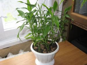 Выращивание Сандериана в почве