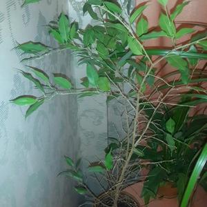 Почему листья падают у фикуса бенжамина