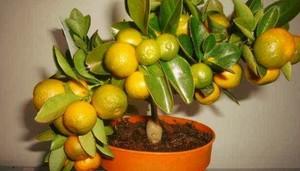 Посадка мандаринов