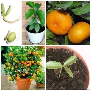 Выращивание мандарина косточками