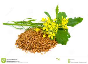 Цветки горчицы и семена