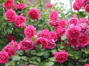 Роза парад в саду