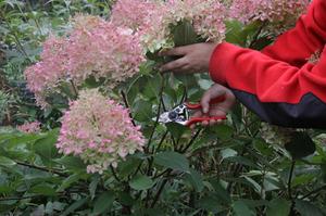 Метельчатая гортензия – красивый цветок