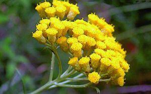 бессмертник лечебный цветок фото