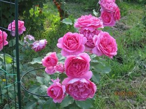Розовые цветы в саду