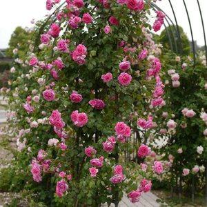 Выращивание розы на арках