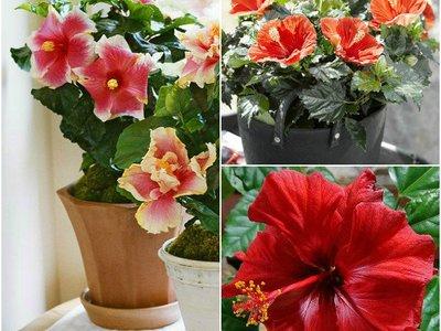 Китайская роза комнатная и ее выращивание