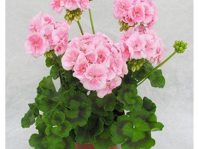 Цветок Пеларгония: как вырастить пышный цветок