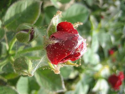 Паутинный клещ на розе — как спасти растение?