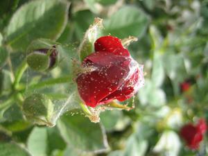 Лечение розы от паутинного клеща