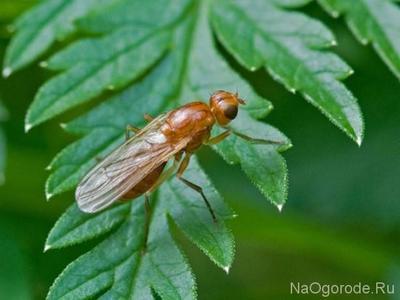 Как бороться с морковной мухой на грядке