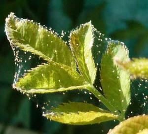 Признаки паутинного клеща на розах