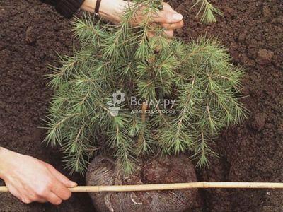 Как пересадить сосну из леса на участок: видео