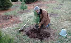 Как правильно посадить саженец сосны?