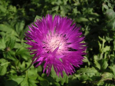 Выращивание и уход за васильками