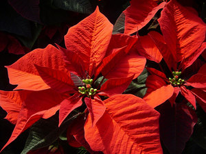 Как стимулировать новое цветение  рождественской звезды