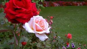 Розы посадка и уход в открытом грунте весной черенками
