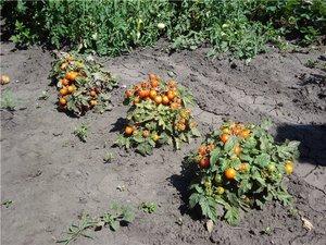 Способ вырастить помидоры
