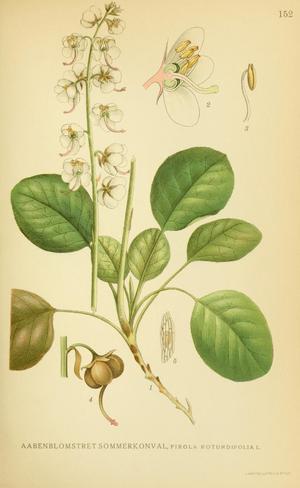 Составляющие растения грушанка
