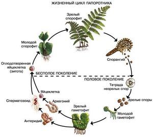 Развитие растения папоротник