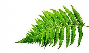 Растение папоротника и его жизненный цикл