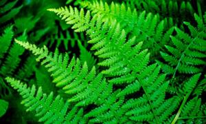 Папоротник - одно из самых древних растений на Земле