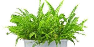 Комнатный папоротник - растение очень эффектное, но требовательное к уходу