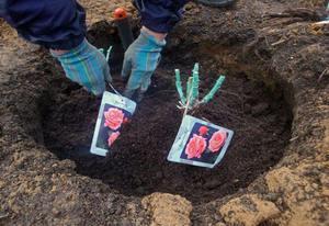 Сорта роз для посадки в Сибире