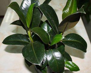 Фикус – декоративно-лиственное деревце