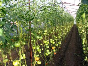 Виды томатов для теплицы