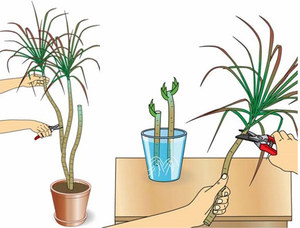 Как рассадить драцену в домашних условиях 79