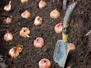 Как плсадить и вырастить гладиолусы