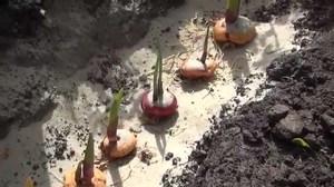 Правила посадки гладиолусов