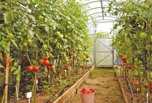 Как посадить томаты в теплицу