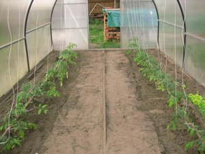 Сорта томатов для выращивания в теплице
