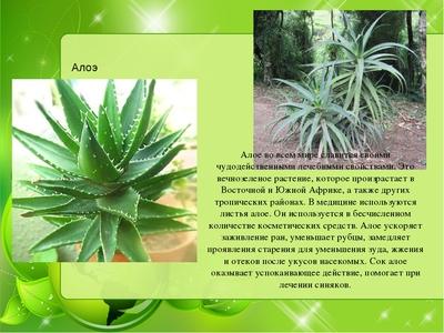Применение листьев алоэ в лечебных целях в домашних условиях