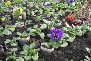 Как выращивают рассаду виолы 48