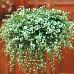 ампельные садовые цветы фото и названия