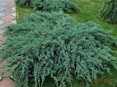 Хвойные растения : Можжевельник чешуйчатый Blue Carpet
