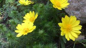 Целебные свойства травы Адонис весенний