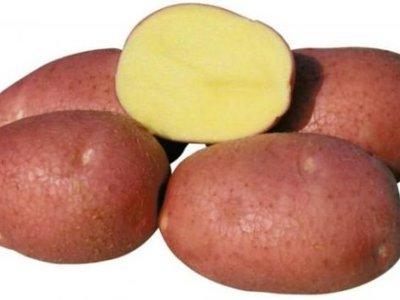 Картошка белая роза характеристика и описание сорта
