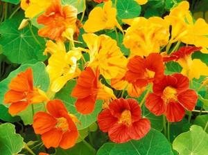 Когда и сколько цветет настурция
