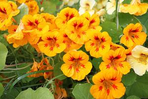 Как удобрять настурцию для активного цветения