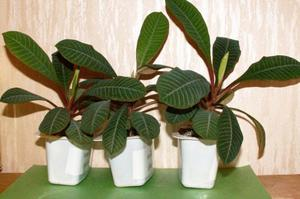 молочай комнатное растение фото и уход