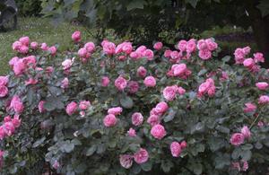 Болезни роз Леонардо Да Винчи