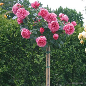 Уход за розами Леонардо Да Винчи