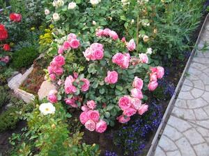 Особенности роз Леонардо Да Винчи